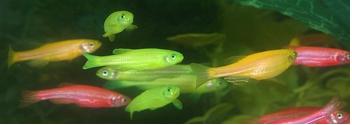 glofish.png